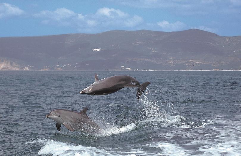 Golfinhos do Sado